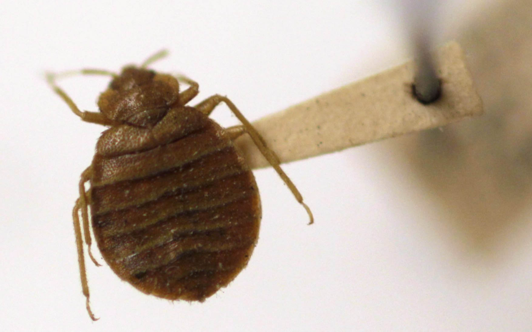 Syrian refugees face new enemy in Canadian apartments: bedbugs